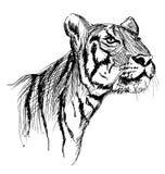 Σκίτσο χεριών μιας νέας τίγρης Στοκ Εικόνες
