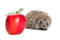 σκαντζόχοιρος μήλων Στοκ εικόνες με δικαίωμα ελεύθερης χρήσης