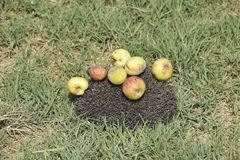 Σκαντζόχοιρος σε μια πράσινη χλόη Βελόνες σκαντζόχοιρων που καρφώνονται στα μήλα, pe Στοκ Φωτογραφίες