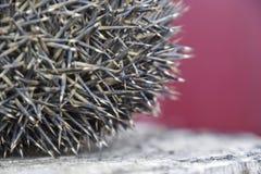 Σκαντζόχοιρος στο κολόβωμα δέντρων Ο σκαντζόχοιρος κατσάρωσε επάνω σε μια σφαίρα Στοκ Εικόνες