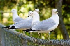 σκαρφαλωμένα φραγή seagulls Στοκ Φωτογραφία