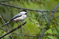 σκαρφαλωμένο chickadee δέντρο Στοκ φωτογραφία με δικαίωμα ελεύθερης χρήσης