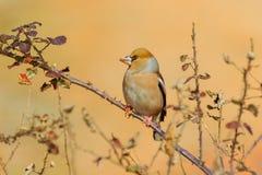 Σκαρφαλωμένα Hawfinch - Coccothraustes coccothraustes Στοκ Εικόνες