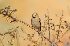 Σκαρφαλωμένα Hawfinch - Coccothraustes coccothraustes Στοκ φωτογραφία με δικαίωμα ελεύθερης χρήσης