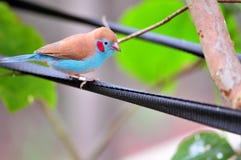 Σκαρφαλωμένος κόκκινος-το πουλί κορδόνι-UEBL στο κλουβί Στοκ φωτογραφία με δικαίωμα ελεύθερης χρήσης