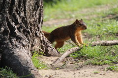 Σκαρφαλωμένος σκίουρος Στοκ Φωτογραφία