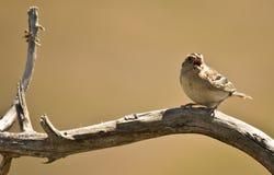 Σκαρφαλωμένο πουλί Tweeting Στοκ εικόνες με δικαίωμα ελεύθερης χρήσης