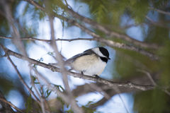 σκαρφαλωμένο chickadee δέντρο Στοκ φωτογραφίες με δικαίωμα ελεύθερης χρήσης