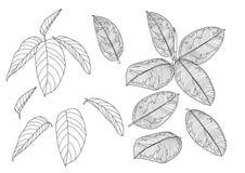 Σκελετικό ευθυγραμμισμένο φύλλα σχέδιο στο άσπρο διάνυσμα απεικόνιση απεικόνιση αποθεμάτων