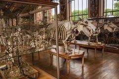 Σκελετοί των ζώων στην τεράστια αίθουσα στη στοά της παλαιοντολογίας και της συγκριτικής ανατομίας στο Παρίσι Στοκ Εικόνες