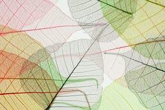 σκελετοί φύλλων φθινοπώ&rho Στοκ Εικόνες