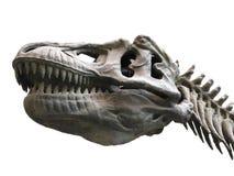 Σκελετός δεινοσαύρων στο άσπρο υπόβαθρο στοκ εικόνα