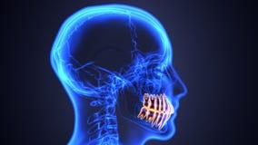 Σκελετός και ανατομία δοντιών Ιατρική ακριβής τρισδιάστατη απεικόνιση ελεύθερη απεικόνιση δικαιώματος
