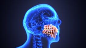 Σκελετός και ανατομία δοντιών Ιατρική ακριβής τρισδιάστατη απεικόνιση διανυσματική απεικόνιση