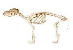Σκελετός του σκυλιού Στοκ εικόνες με δικαίωμα ελεύθερης χρήσης