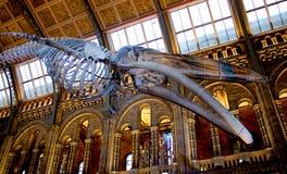 Σκελετός φαλαινών σπέρματος στο μουσείο φυσικής ιστορίας του Λονδίνου Στοκ Φωτογραφία