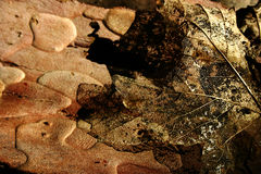 σκελετός φύλλων Στοκ Εικόνα