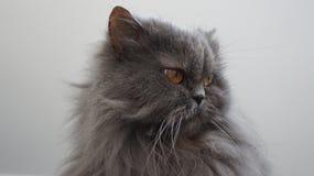 Σκεπτική περσική γάτα Στοκ Εικόνες