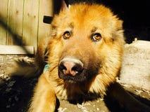 Σκεπτικό σκυλί Στοκ Φωτογραφίες