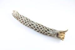 Σκελετός κάκτων Στοκ φωτογραφία με δικαίωμα ελεύθερης χρήσης