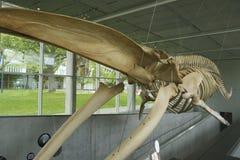 Σκελετός μιας γαλάζιας φάλαινας στο πανεπιστήμιο της Βρετανικής Κολομβίας, Βανκούβερ, Καναδάς Στοκ Φωτογραφία