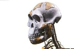 Σκελετός της Lucy Στοκ φωτογραφίες με δικαίωμα ελεύθερης χρήσης
