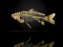 Σκελετός Taxidermy των ψαριών ενάντια στο Μαύρο Στοκ Εικόνα