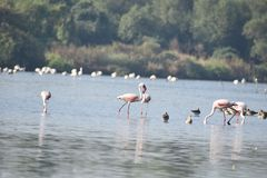 Σκηνές Flemingo πουλιών στοκ εικόνα με δικαίωμα ελεύθερης χρήσης