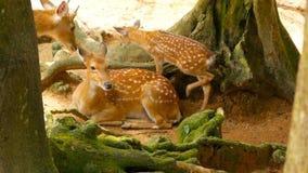Σκηνή άγριας φύσης Νέα ελάφια αγραναπαύσεων whitetail, άγριο ζώο θηλαστικών δασικό να περιβάλει Επισημασμένος, Chitals, Cheetal,  απόθεμα βίντεο