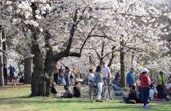 Σκηνή άνοιξη των ανθρώπων που απολαμβάνουν τα τοπία του άσπρου άνθους κερασιών πλήρους άνθισης στο υψηλό πάρκο, Τορόντο στοκ φωτογραφίες