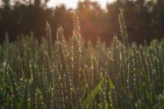 Σκηνή γεωργίας - πράσινος τομέας καλαμποκιού όπου ακόμα αυξανόμενος με τη κλίση ήλιων Στοκ Εικόνα