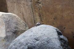 Σκηνή ενός καβουριού θάλασσας σε μια πέτρα στοκ εικόνες με δικαίωμα ελεύθερης χρήσης