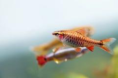 Σκηνή ζωής ενυδρείων ακόμα, ζωηρόχρωμη του γλυκού νερού μακρο άποψη ψαριών, ρηχό βάθος του τομέα Στοκ Εικόνες