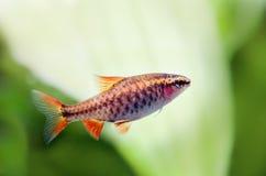 Σκηνή ζωής δεξαμενών ενυδρείων ακόμα Θηλυκή barb ψαριών κόκκινη κινηματογράφηση σε πρώτο πλάνο titteya Puntius Μακρο φωτογραφία φ Στοκ φωτογραφία με δικαίωμα ελεύθερης χρήσης