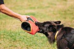 Σκηνή κατάρτισης του μακρυμάλλους γερμανικού σκυλιού ποιμένων, αλσατικό σκυλί λύκων στοκ φωτογραφία με δικαίωμα ελεύθερης χρήσης
