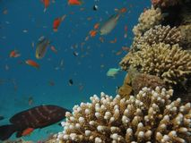 Σκηνή κοραλλιογενών υφάλων Στοκ εικόνες με δικαίωμα ελεύθερης χρήσης