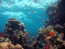 σκηνή κοραλλιογενών υφά&lamb Στοκ εικόνα με δικαίωμα ελεύθερης χρήσης