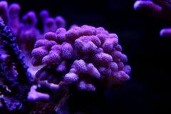 Σκηνή κοραλλιών ενυδρείων σκοπέλων sps Στοκ Εικόνες