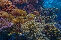 Σκηνή κοραλλιογενών υφάλων βρεφικών σταθμών Anemonefish Στοκ φωτογραφίες με δικαίωμα ελεύθερης χρήσης