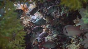 Σκηνή κοραλλιογενών υφάλων με τα τροπικά ψάρια στη Ερυθρά Θάλασσα φιλμ μικρού μήκους