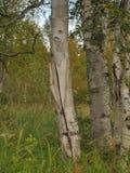 Σκηνή με τις σημύδες στο δάσος taiga Στοκ Εικόνα