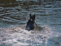 Σκηνή με το μαύρο σκυλί που κολυμπά στο νερό ποταμού για να πιάσει τη σφαίρα αντισφαίρισης στοκ φωτογραφία