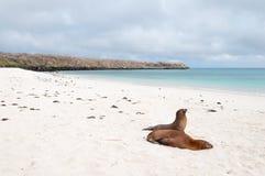 Σκηνή παραλιών με δύο Galapagos Sea-Lions Στοκ Εικόνες