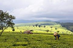 Σκηνή της εκτενούς φυτείας στο κτήμα τσαγιού, λόφοι Nandi, ορεινές περιοχές της δυτικής Κένυας στοκ εικόνα με δικαίωμα ελεύθερης χρήσης
