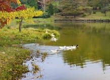 Σκηνή φθινοπώρου, μια οικογένεια των παπιών στη λίμνη Στοκ εικόνα με δικαίωμα ελεύθερης χρήσης
