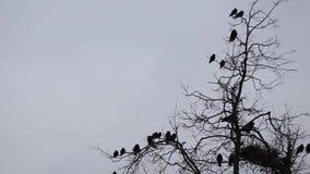 σκηνή φθινοπώρου, σκιαγραφία των κοράκων που πετούν γύρω από τις φωλιές φιλμ μικρού μήκους