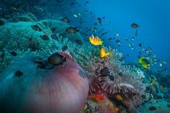 Σκηνή anemone κοραλλιογενών υφάλων Στοκ Εικόνα