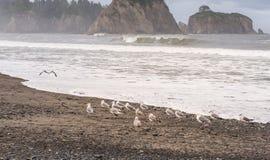 Σκηνή seagull στην παραλία με το νησί σωρών βράχου στο υπόβαθρο στο πρωί στην παραλία Realto, Ουάσιγκτον, ΗΠΑ Στοκ Εικόνα
