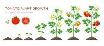 Σκηνικά infographic στοιχεία αύξησης τοματιών στο επίπεδο σχέδιο Φύτευση της διαδικασίας της ντομάτας από το νεαρό βλαστό σπόρων  διανυσματική απεικόνιση