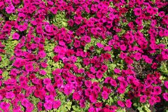Σκηνικό - χρωματισμένα ροδανιλίνη λουλούδια της πετούνιας στοκ εικόνες